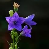 晨拍蓝色小花-秸梗