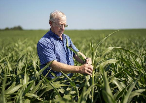 内布拉斯加一位农场主在高粱田检查作物(照片:美联社)