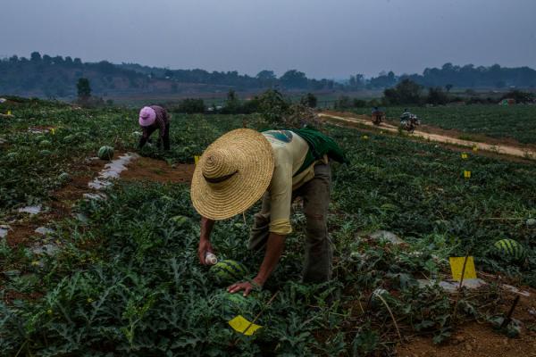 掸邦北部腊戍郊区的一个西瓜园。