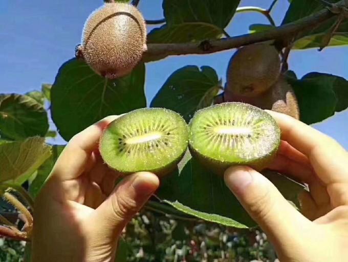 岐山猕猴桃之陕西多种特色农产品亮相福建