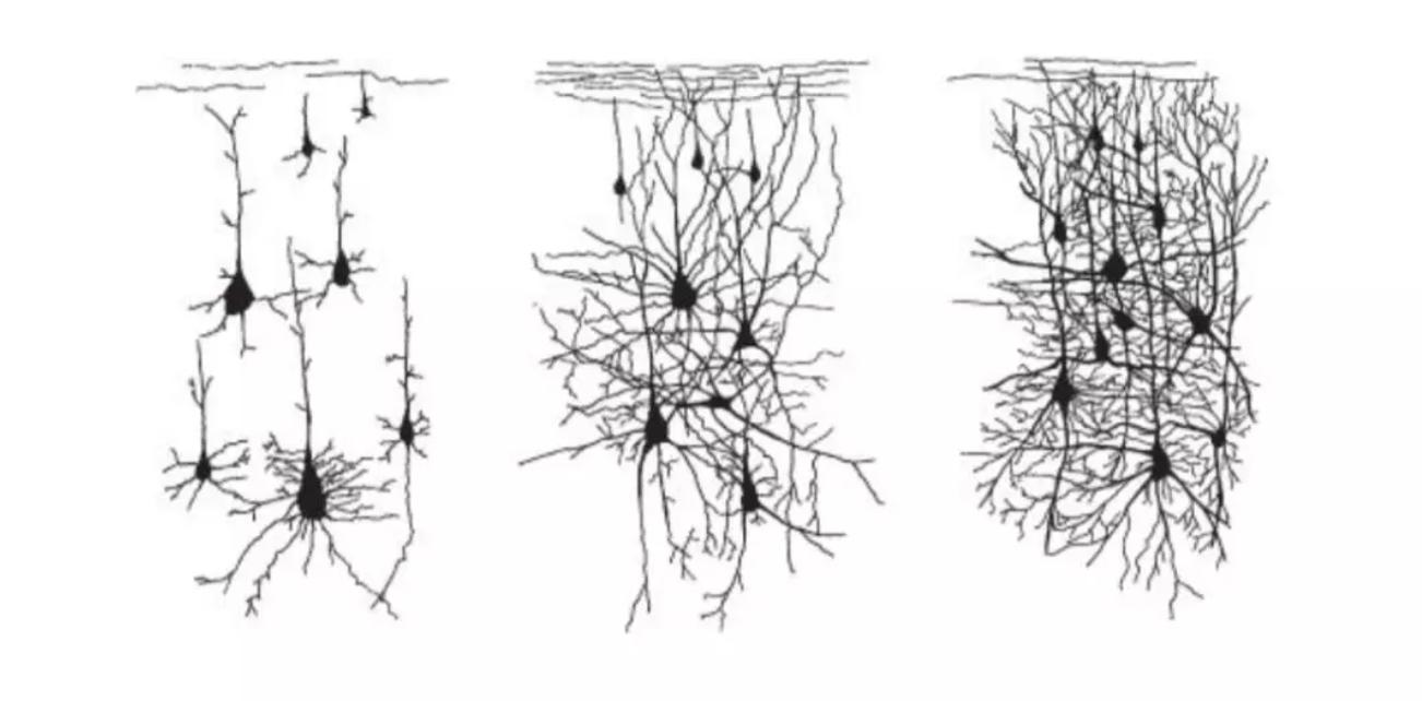 神经元在发育过程中连通性增加程度